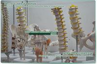 cmam] мочеполовой системы, на борту, Анатомия модели настроек мочевыводящих путей модели