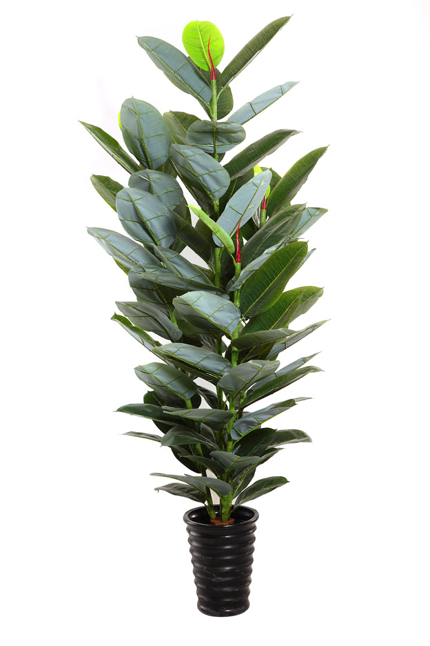 Indian Rubber Plant,Indian Rubber Tree,Ficus Elastica ...