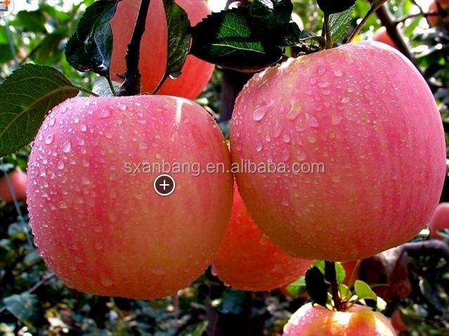 2014 new crop Chinese Gala Apple in harvest