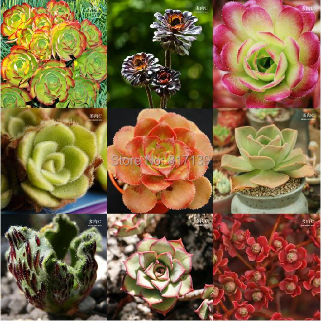 diy frische seltene sukkulenten pflanzensamen 20 samen haus steingarten aeonium mischung samen. Black Bedroom Furniture Sets. Home Design Ideas