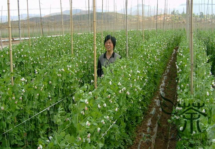 Агротехника выращивания гороха в открытом грунте 6