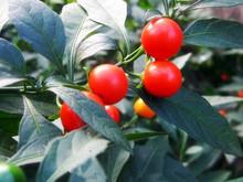 100 pure and natural Tomato essential oil