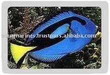 Blue Palette Tang fish Wholesale Tropical Fish