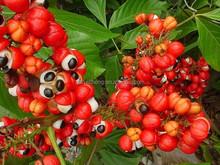 guarana p.e., guarana extract caffeine, guarana seed extract 22% caffeine paullinia cupana