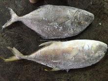 entero congelado fresco pescado jurel ronda en venta