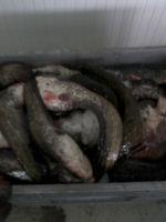 Fresh European Catfish