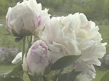 Fresh cut flowers (peonies)