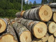 Birch veneer logs