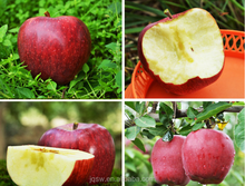 Factory of red star apple,goldend delicous apple,huaniu apple