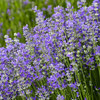 100% lavender seeds Flower Seeds And Bulbs