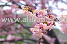 Sakura Fragrance Oil (100% Concentrated Synthetic Fragrance)