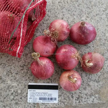 Fresh red/yellow onion high quality from China