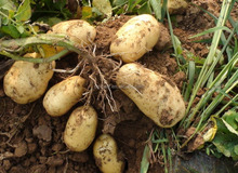 China wholesale crop top quality fresh potato with mesh bag or carton packing