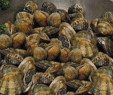 fresh clam,scallop