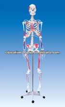 se31112 modelo de esqueleto humano de color con el músculo