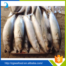 250g-350g New Frozen mackerel fish