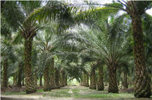 RBD CRUDE PALM OIL CP0