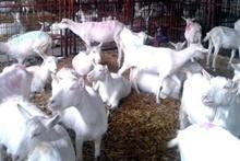 Disease Free Live Saanen Goats