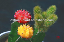cacti P.E/prickly pear powder/ Opuntia ficus extract