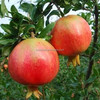 hot sales pomegranate leaf extract powder