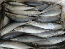 indonesia betta of mackerel