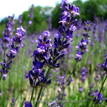 Lavender Oil Super - Kashmir
