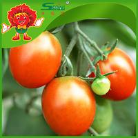 Bulk Farm Red Tomatoes Fresh Tomatoes for Sale Greenhouse