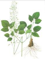 Epimedium Sagittatum Extract Powder to improve the deficiency of the kidney