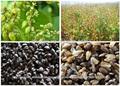trigo sarraceno verde