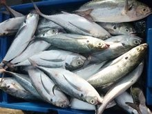 100% TOP QUALITY FROZEN MACKEREL FISHES. Include your contact email address for a fast reply back.