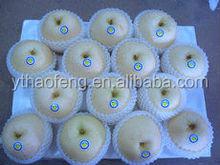 Fresh Asian Golden Pear Crop.2014 Fruit from GAP orchard