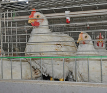 Broiler chicken equipment broiler farm design/chicken cage mesh/folding chicken cage