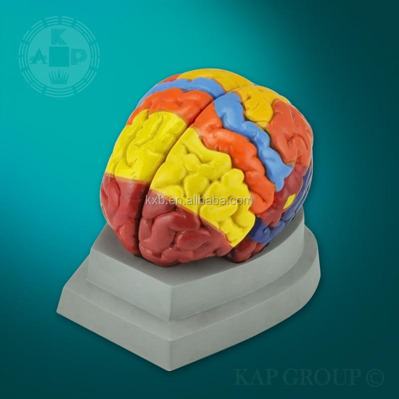 Anatomical Brain Model/ Human Brain Anatomy Model/teaching Brain ...