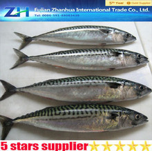 frozen mackerel seafood supplier,pacific mackerel fish on hot sale