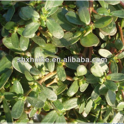 100% Natural Bacopa Monnieri plant Extract