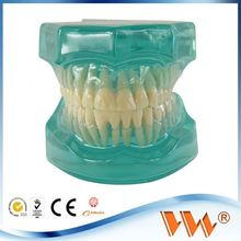 transparent clear model dental hygiene model for teaching and learning in school