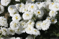 China aster plant seeds white aster seeds annual asters seeds for planting