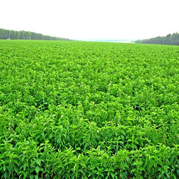 2015 Natural Healthy Sweetner Stevia