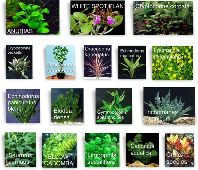 Aquatic plant buy aquatic plant product on for Pond plants names