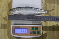 High Quality Seafood Frozen Fish Pacific Sardine Whole Round