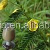 Natural Hot sale Cassia Nomame P.E,High quality Cassia Nomame P.E powder
