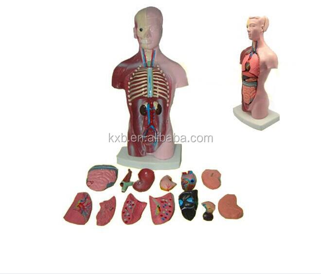 Hot Selling Human Anatomy Torso Model Toy Buy Anatomy Model Toy