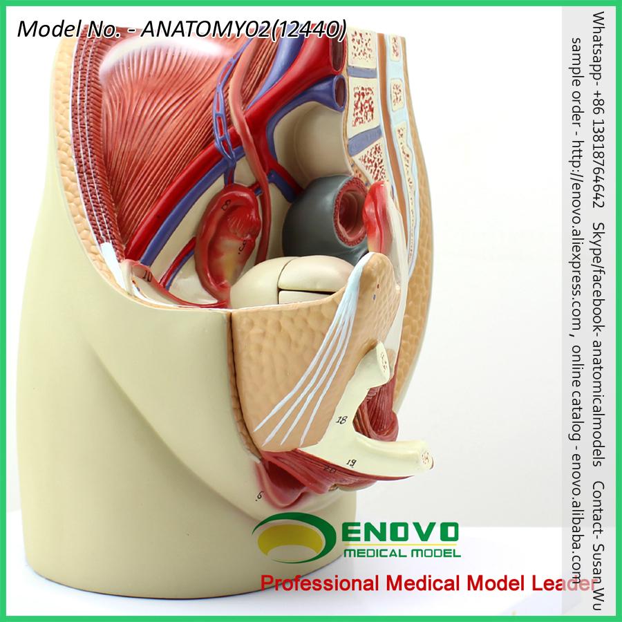 Vender 12440 tamaño de la vida la Pelvis sección modelo anatómico 3 ...