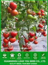 JT45 Eva alta resistencia a la siembra de la enfermedad TYLCV en semillas de tomate, semillas de tomate precio