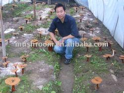 ling zhi,xian chao;Magic powder,Magic fungus;xian chao;Reishi mushroom