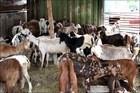 Live cattle , Live Goat , Live Lamb , Livestock
