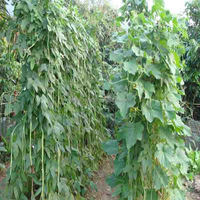 Dou jiao seed green plant long bean Seed French Green Beans Seeds