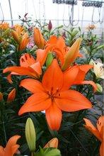 LA Hybrid Lilium Flower Bulb