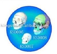 Osseous color model of human skull (plastic pvc)