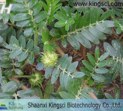 Medicine Grade Black Cohosh Extract Triterpenoid saponins 2.5%,5%,8% HPLC